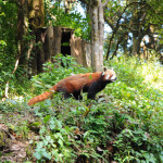 Red Panda often seen on the race trail
