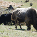 Himalayan Yak often seen on the race trail
