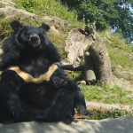 Himalayan Bear at HMI, Darjeeling